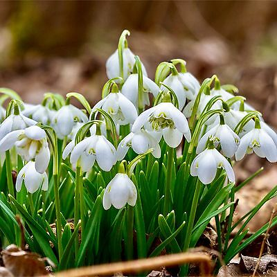 50 Snowdrops Bulbs 'Double' Top Quality Spring Flowering Bulbs