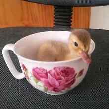 Ducklings for sale Burra Queanbeyan Area Preview