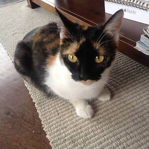 Elegant tortoiseshell cat Summer, 3, available for adoption Toowong Brisbane North West Preview