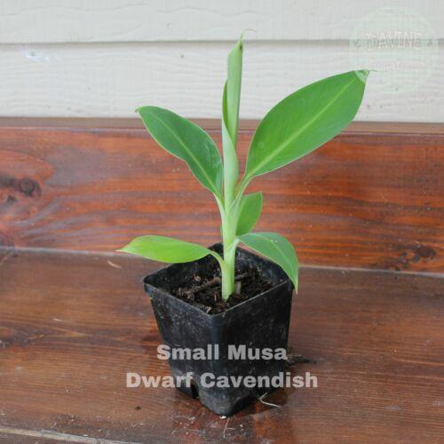 Small Dwarf Cavendish Banana Plant
