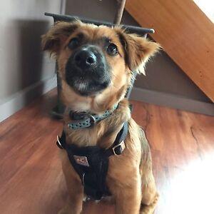 Maltese terrier cross Jack Russell Puppy Taranna Tasman Area Preview
