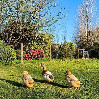6 Saxony Duck Hatching Eggs