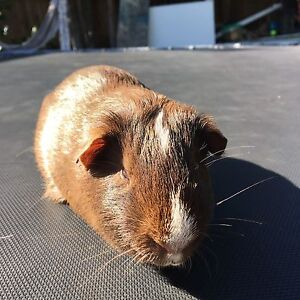 Guinea pigs (2 males incl. their home) North Balgowlah Manly Area Preview