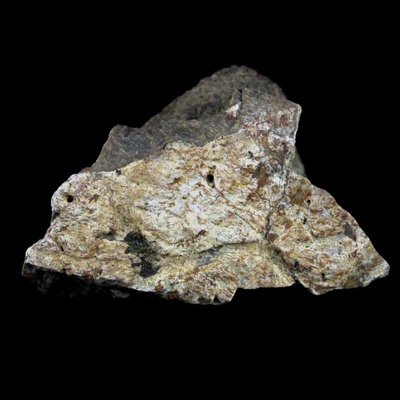 "2.2"" Triceratops Frill Bone Fossil Lance Creek FM Cretaceous Dinosaur WY COA"