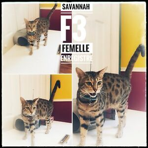 Savannah F3 reproductrice