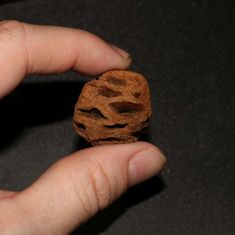 Meta Sequoia Pine Cone Fossil - Hell Creek Formation Cretaceous  - Big & Nice