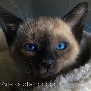 Siamese Kittens Expected-High Quality