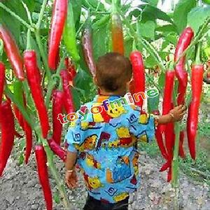 10Pcs-casa-giardino-spezie-giganti-rare-Rosso-piccante-Peperoncino-Semi
