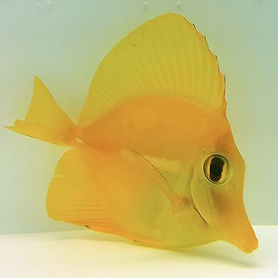 Yellow Tang - Zebrasoma flavescens - Saltwater Marine Fish - 2.5 Inch - Beginner