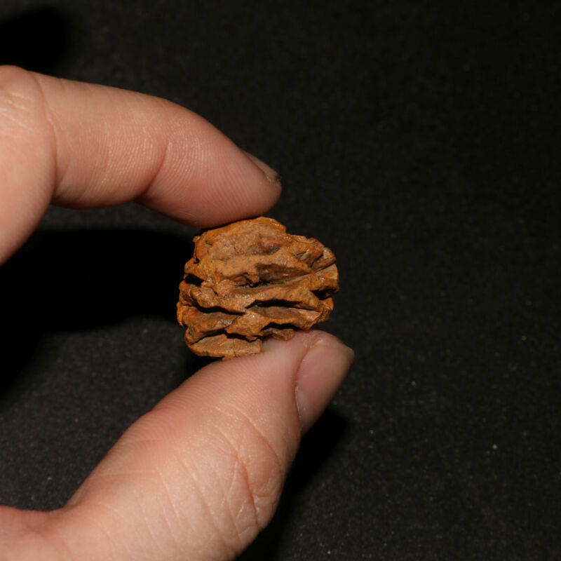 Meta Sequoia Pine Cone Fossil - Hell Creek Formation Cretaceous  - Highly detail