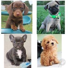 Looking For A Puppy Coffs Harbour 2450 Coffs Harbour City Preview