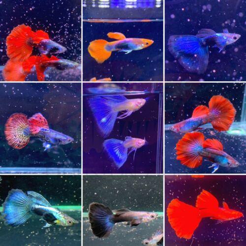 Customer Choice - Pick Your Own Type of VIP Guppy Fish - Live Aquarium Guppy USA