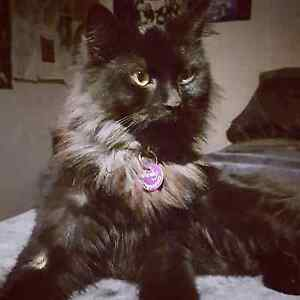 MISSING Charcoal long haired Tabby cat Sunbury Hume Area Preview