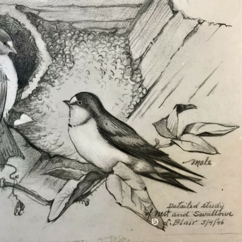 Artist Drawing Detailed Study Of Nest And Swallows Birds Postcard Blair RPPC
