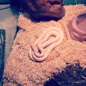 Bubblegum blizzard snow corn snake