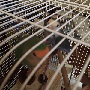 Breeding Pair of Lovebirds!!!