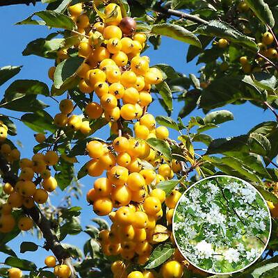 Malus Yellow Siberian | Crab Apple Tree | Ornamental Flowering Tree | 5-6ft