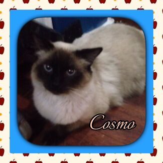 HANDSOME SEAL POINT RAGDOLL 100% PUREBRED ENTIRE Kingston Logan Area Preview