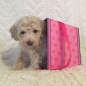 Toy Maltipoo Maltese/poodle