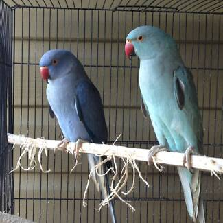 Violet and Blue Ringneck parrots for sale East Lismore Lismore Area Preview