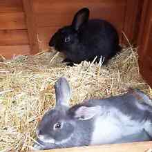LOST RABBITS Thornton Maitland Area Preview