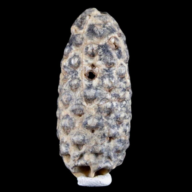"""1.8"""" Fossil Pine Cone Equicalastrobus Replaced By Agate Eocene Age Seeds Fruit"""