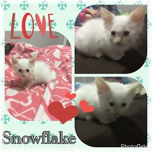 Meet snowflake  Siamese cross
