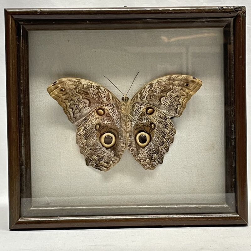 """Owl Butterfly Mexican Caligo Mounted Framed Real Vintage 6"""" Wingspan"""