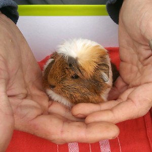Baby Guinea pigs Summerland Point Wyong Area Preview
