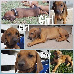 Purebreed Rhodesian Ridgeback puppies Rockhampton Rockhampton City Preview