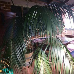 Kentia Palm Currambine Joondalup Area Preview
