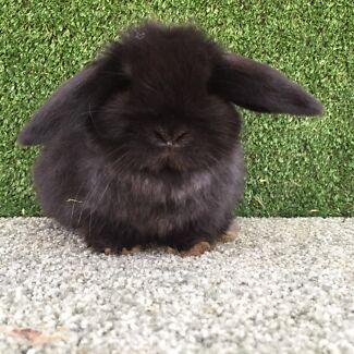 Purebred Black Mini lop baby girl