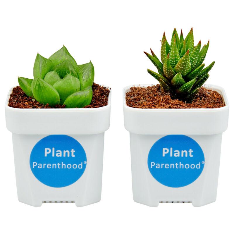 2 Live Succulent Plants