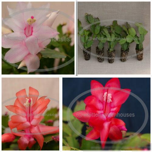 Christmas Cactus Assortment 5 Starter Size Plants - All Different Varieties -