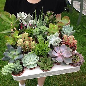 Set of 10 Mixed Succulent Plants In 5.5cm (2.5
