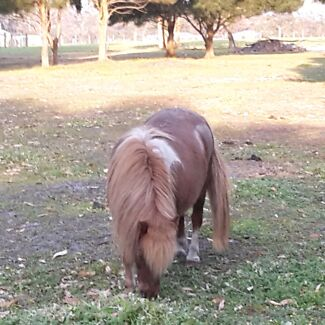 Small horse mare Albany 6330 Albany Area Preview