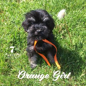 Toy Schnoodle Puppies! Doodles! ONE GIRL LEFT