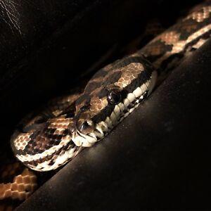 Coastal Carpet Python For Sale! price is negotiable