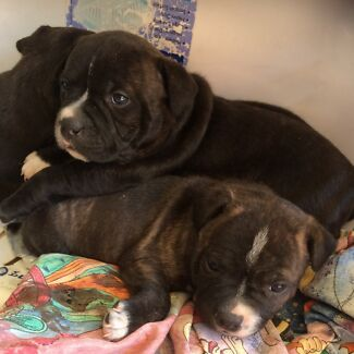 English staffy - staffordshire bull terrier Baldivis Rockingham Area Preview