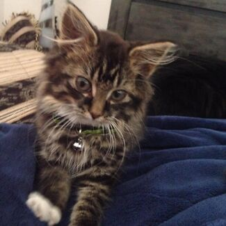 This Kitten is LOST we would like to find him. Tapping Wanneroo Area Preview