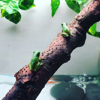 Baby green tree frogs