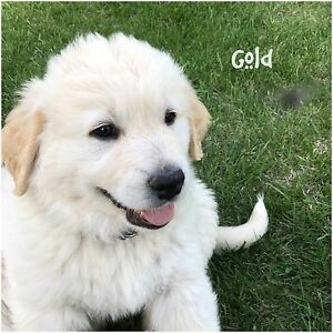 3 Golden Pyrenees Puppies