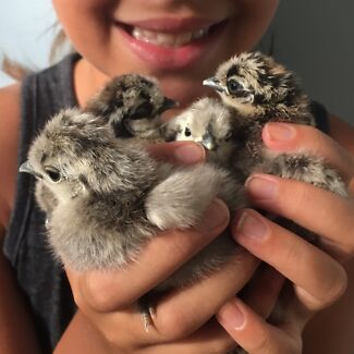 Silkie bantam chicks (unsexed)