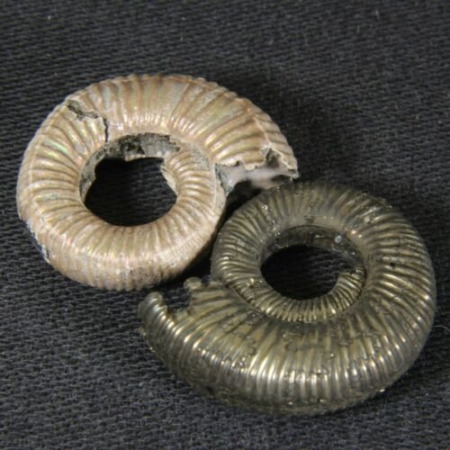 2cm/0.8in set 2pcs pyrite nacre Ammonite Binatisphinctes Jurassic fossil Russia