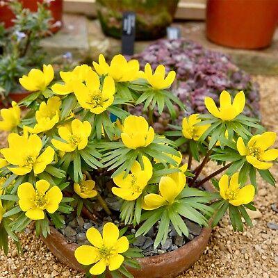 10 ENGLISH WOODLAND ACONITES BULBS Spring Flowering Corms