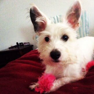 Wanted: A papillon x or good adventurous mix