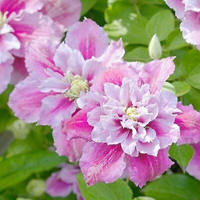 25 Double Pink Whit Clematis Seeds Bloom Climbing Perennial Plumeria Flower Vine