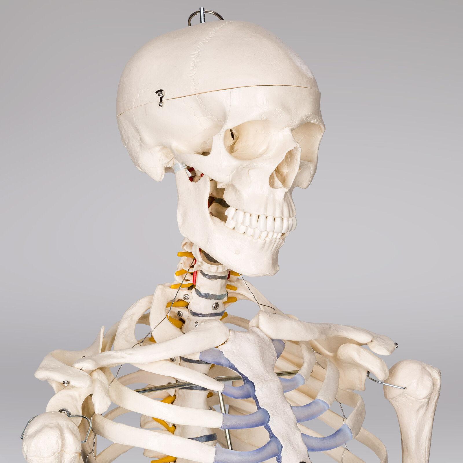 Großartig Menschliches Skelett Modell Markiert Ideen - Menschliche ...