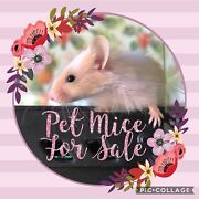 Cute Pet Mice / Mouse High Wycombe Kalamunda Area Preview