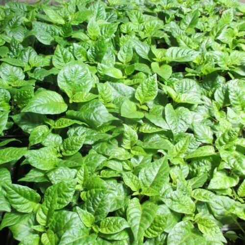 Lot of 3 (90+ DAYS OLD) CAROLINA REAPER Worlds Hottest Pepper LIVE PLANT